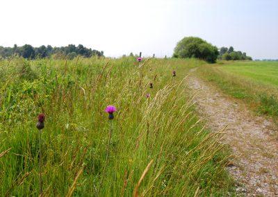 Landschaftspflegeverband Landkreis Augsburg e.V. Knollen-Kratzdistel