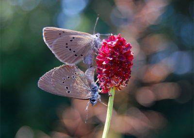 Wiesenknopf-Ameisenbläuling