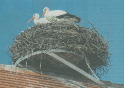 Störche auf dem Kirchendach in Gennach, März 2019